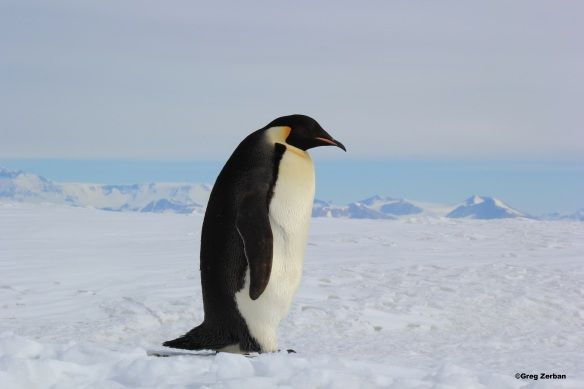 An Emperor penguin hanging out on the Ross Ice Shelf in Antarctica.
