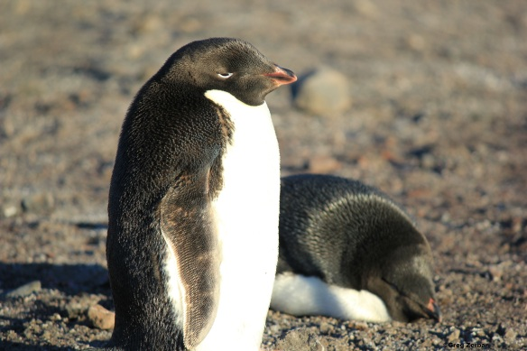 Cute Adelie penguins sleeping on Hut Point in McMurdo Station, Antarctica.
